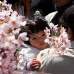 A child looks at cherry blossom trees al