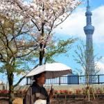 A kimono-clad woman strolls past cherry