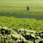 Seaweed Swamps Qingdao Coastline