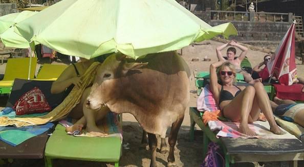 cow beach india