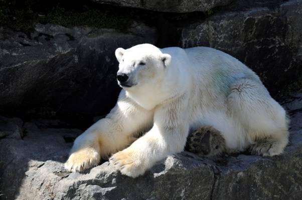 orsa bianco