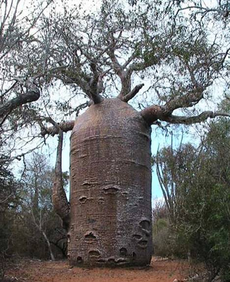 alberi baobab-madagascar