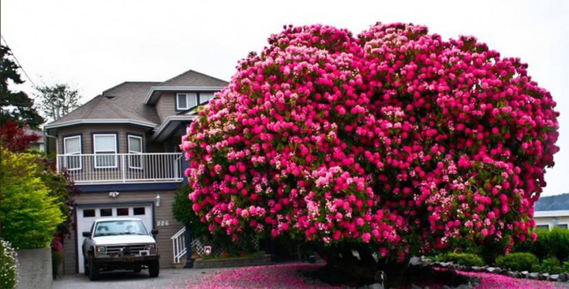 alberi rododendro