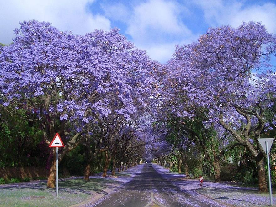 Passeggiata tra le jacaranda, Sud Africa