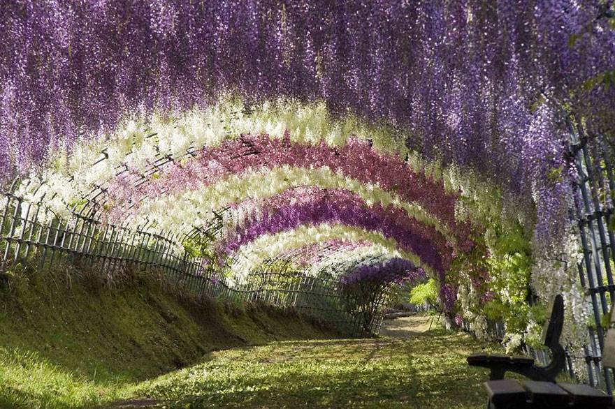 Tunnel di glicine in fiore, Giappone 2