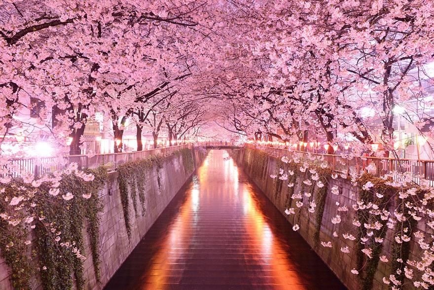 Tunnel tra i Fiori di Ciliegio, Giappone
