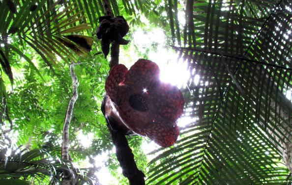 Rafflesia, fiore nelle foreste Malesi @Gettyimages