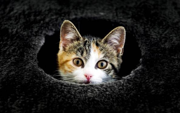 A cat peeks out a hole at the Stichts Asyl for Animals in Utrecht on July 24, 2013. Many vacationers have their pet housed in the animal shelter during their holidays. AFP PHOTO / ANP / KOEN VAN WEEL netherlands out        (Photo credit should read Koen van Weel/AFP/Getty Images)