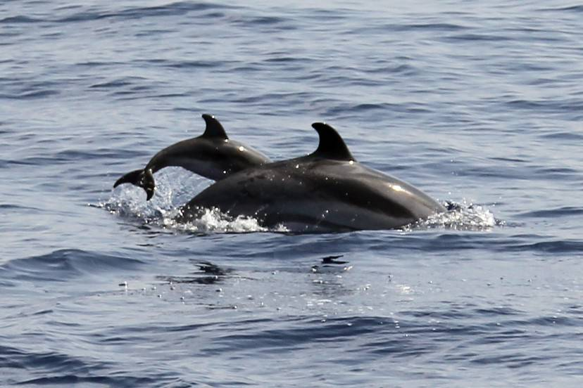 A blue-white dolphin with a baby swims in the Mediterranean sea on August 23, 2012 off the coasts of Nice, southeastern France.  AFP PHOTO / VALERY HACHE        (Photo credit should read VALERY HACHE/AFP/GettyImages)