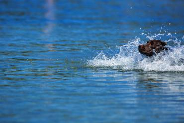 Labrador dog 'Benz' runs through the cool water of the Baltic Sea off the beach of Timmendorf, northern Germany on July 2, 2015. AFP PHOTO / DPA / JENS BÜTTNER +++ GERMANY OUT        (Photo credit should read JENS BUTTNER/AFP/Getty Images)