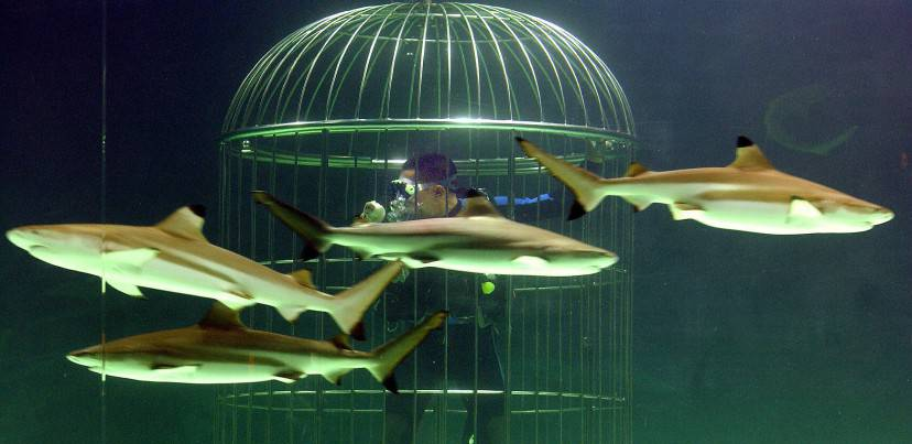 JAKARTA, INDONESIA:  Employee of Seaworld-Indonesia feeds sharks from a cage during a ceremony at its new shark aquarium to mark the park's 11th anniversary in Jakarta, 30 June 2005.  Inside a 650,000 litre-tank, some 30 sharks from seven species live together and perform an unusual view for visitors.  AFP PHOTO/Bay ISMOYO  (Photo credit should read BAY ISMOYO/AFP/Getty Images)