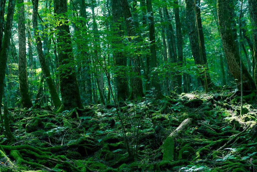 Foresta di Aokigahara, Giapppone (Foto di Jordy Meow. Wikicommons. Licenza CC BY-SA 3.0)