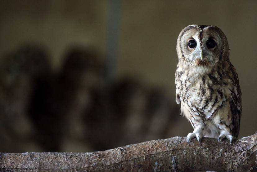 TAUNTON, ENGLAND - AUGUST 28:  A rescued young tawny owl perches on a branch as it waits to be released back into the wild at the RSPCA West Hatch Wildlife Centre on August 28, 2012 in Taunton, England. Between January and the end of July, 33 of the baby birds were taken to the RSPCA centre in Somerset for care, a large increase on previous years. Although the exact reason for this rise is unclear, it is thought the topsy-turvy weather conditions and some extremely windy days through the spring and summer may have contributed.  (Photo by Matt Cardy/Getty Images)