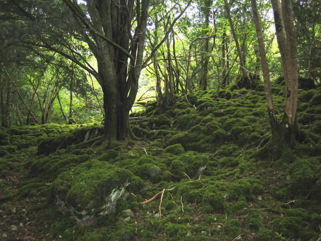 Foresta di tassi di Reenadinna, Killarney National Park (Foto di Nigel Cox. Wikicommons. Licenza CC BY-SA 2.0)