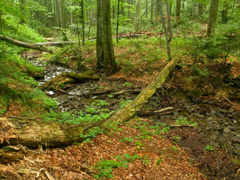Foresta di Stužica, Slovacchia (Foto di Caroig. Wikicommons. LIcenza CC BY-SA 3.0 )
