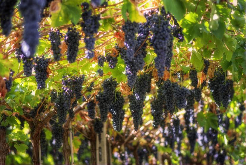 Grappoli d'uva (Foto di Ilares Riolfi. Licenza icenza CC BY 2.0 tramite Wikimedia Commons)