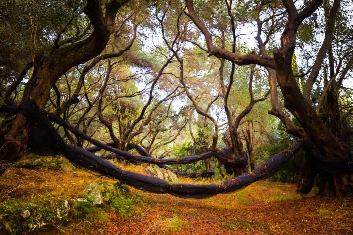 Ulivi in Grecia (Thinkstock)