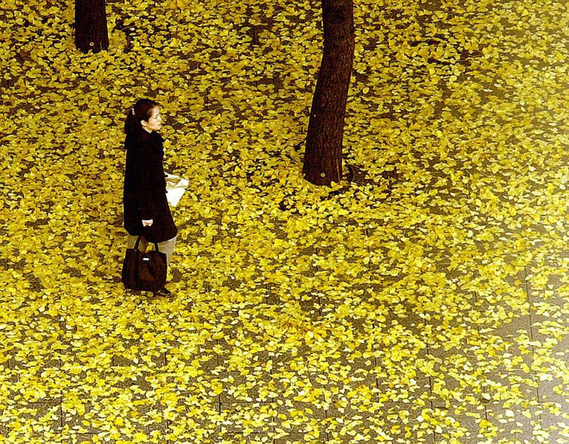 SEOUL, REPUBLIC OF KOREA:  A pedestrian stands on the sidewalk covered with fallen ginko leaves in a commercial business district in the center of Seoul, 11 November 2003. The South Korean capital has replaced its roadside trees with ginko.         AFP PHOTO/JUNG YEON-JE  (Photo credit should read JUNG YEON-JE/AFP/Getty Images)