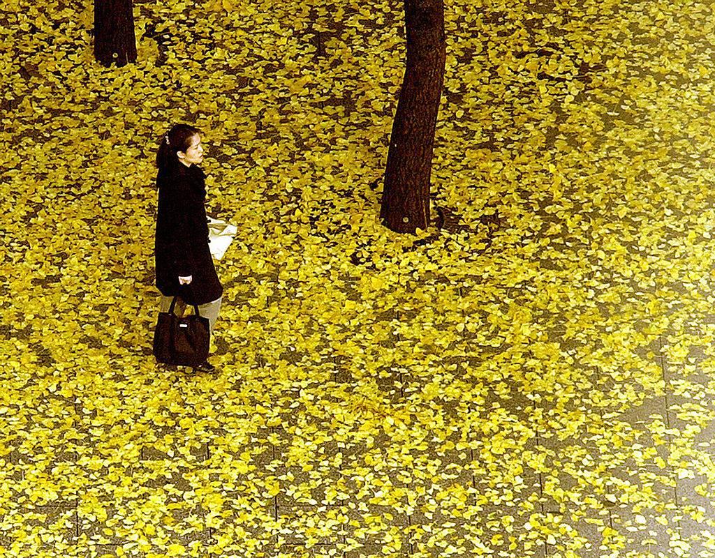 L albero dalle foglie d oro in cina le immagini spettacolari