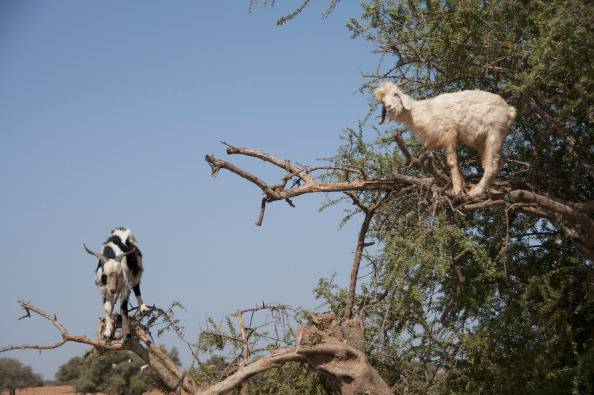 This photo taken on August 26, 2012, shows goats climbing up an Argan tree to its fruit, near Essaouira. AFP PHOTO FADEL SENNA        (Photo credit should read FADEL SENNA/AFP/GettyImages)