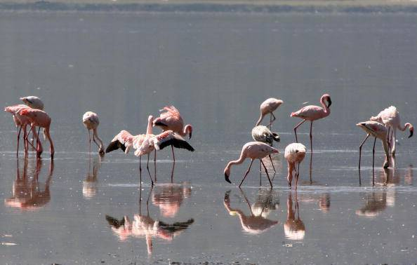 A flamboyance of lesser flamingos feed in the waters of Lake Nakuru, on 11 May 2008, 160km from Nairobi. Nakuru, whose recent maximum size was less than 20 square miles, may have lost half its water in the past few years, residents say.AFP PHOTO/SIMON MAINA. (Photo credit should read SIMON MAINA/AFP/Getty Images)