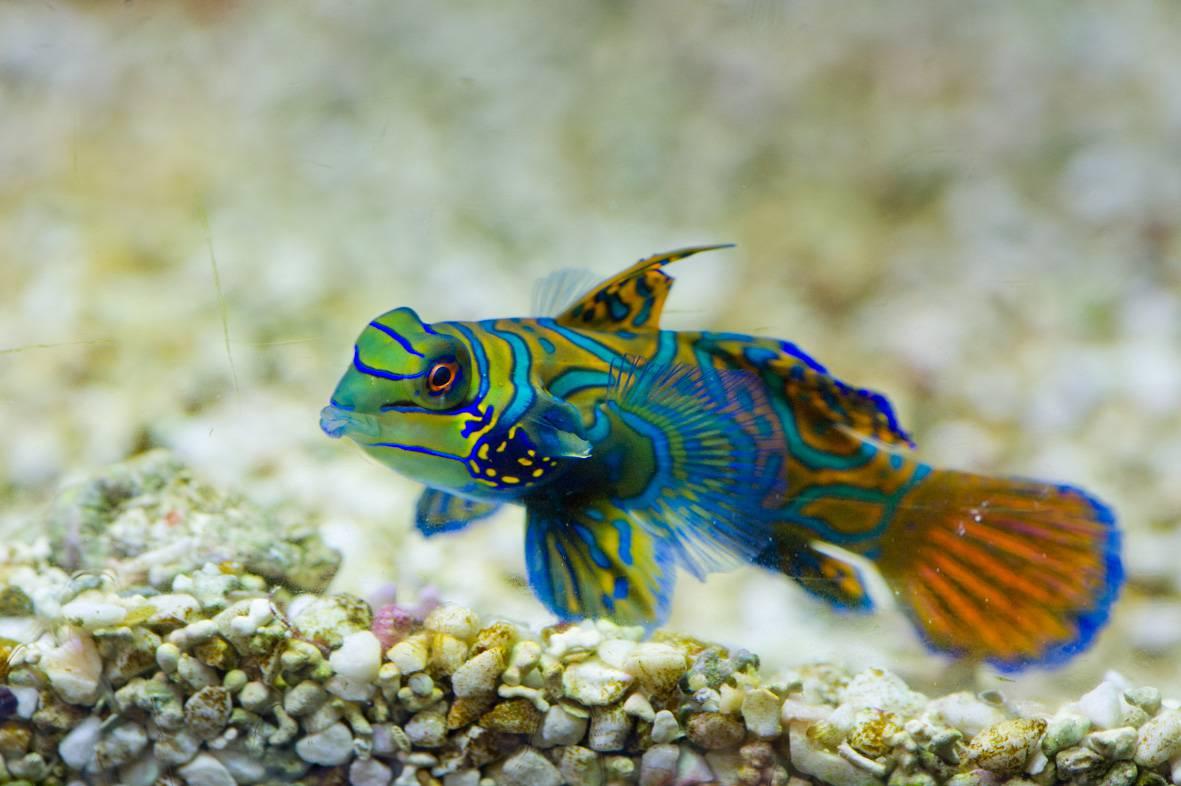 #pesce mandarino_AcquariodiGenova