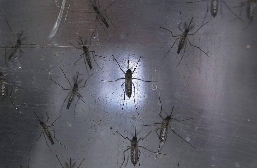 Zanzare del virus Zika (Mario Tama/Getty Images)