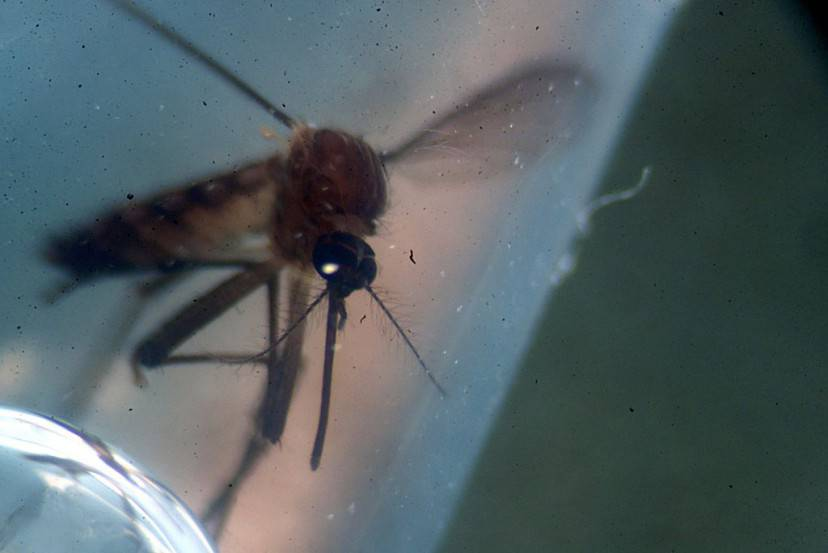 Aedes aegypti, la zanzara che trasmette il virus Zika (MARVIN RECINOS/AFP/Getty Images)