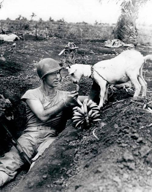 Un soldato dà da mangiare ad una capra nella battaglia di Saipan, 1944