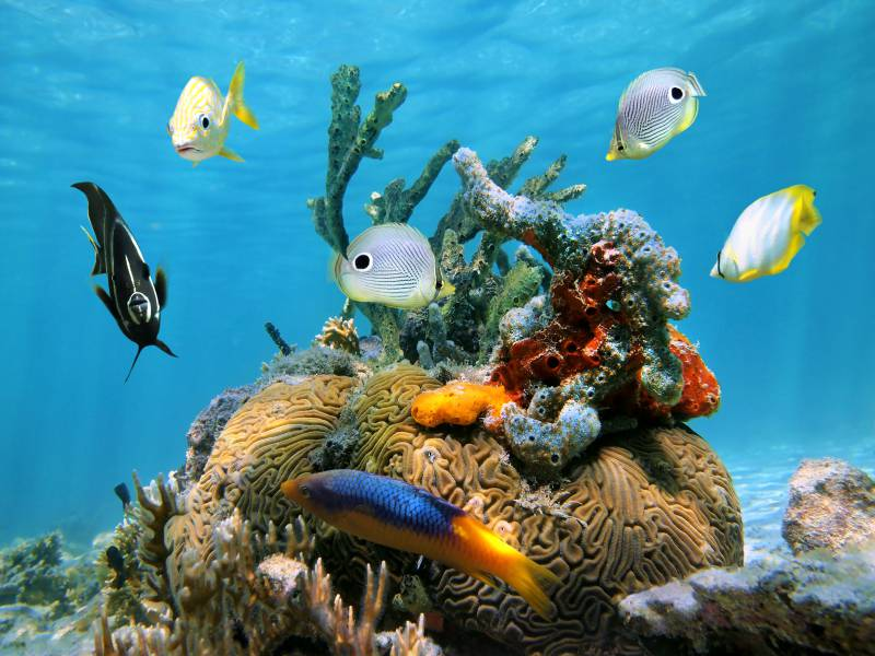 Brain coral with colorful sea sponges and tropical fish in the Caribbean sea