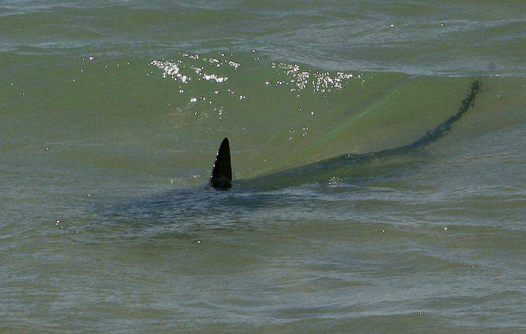 The fin of a shark breaks the surface near the 'Miracla' beach, 20 August 2007, in Tarragona city. Biologists of the Barcelona Aquarium have un successfully tried to capture the animal, a Mediterranean grey nurse shark, which is considered as harmless for humans, usually feeding on fish. AFP PHOTO/LLUIS GENE (Photo credit should read LLUIS GENE/AFP/Getty Images)