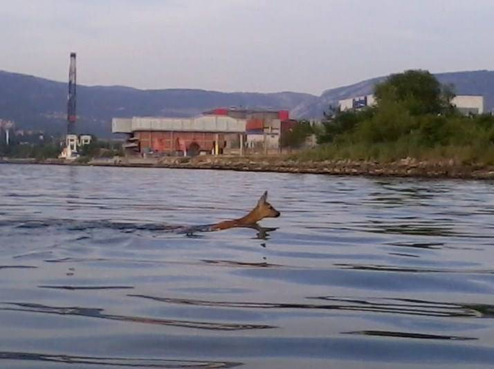 Capriolo nelle acque del Rio Ospo a Trieste (Foto di Ornella Dobrigna da Facebook)
