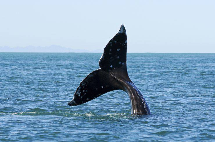 grey whale whatching
