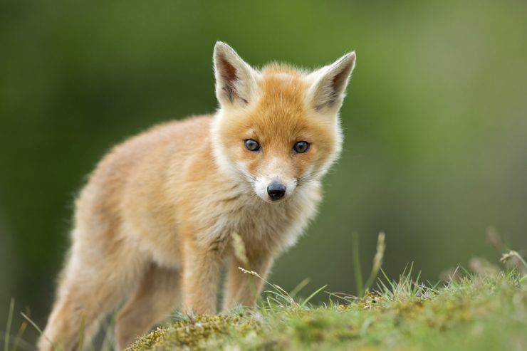 One little red fox cub looks into the camera.