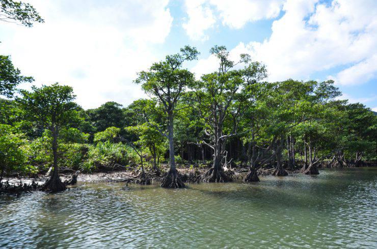 Mangrovie sul fiume Urauchi, Iriomote, Isole Yaeyama