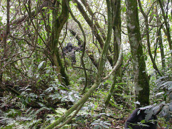 Gorilla di montagna, foresta d Bwindi, Uganda (CC BY-SA 3.0, Wikicommons)