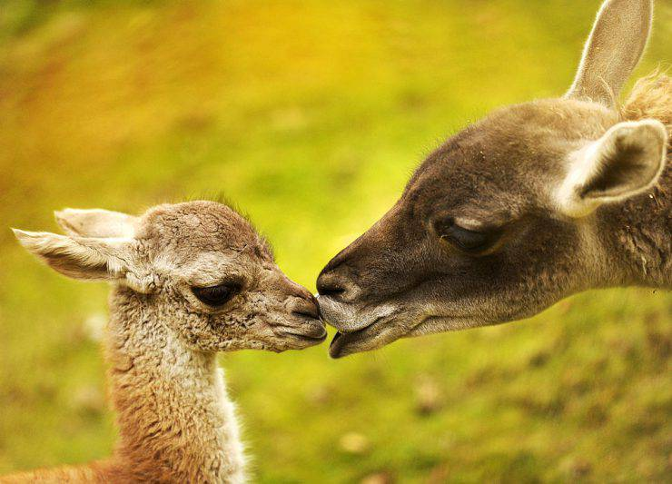 A baby Guanaco is nursed by her mother Hannah (R) in their enclosure at the zoo in Berlin, November 2, 2010. The South America native Lama female calf was born in the zoo on last October 17.   AFP PHOTO / ODD ANDERSEN (Photo credit should read ODD ANDERSEN/AFP/Getty Images)