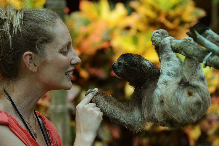 TO GO WITH AFP STORY by Isabel Sanchez- FILES A volunteer at the Sloth Sanctuary plays with a brown-throated sloth (Bradypus variegatus) at the sanctuary in Penshurt, some 220 km east of San Jose, Costa Rica, on August 30, 2012.  AFP PHOTO/Rodrigo ARANGUA        (Photo credit should read RODRIGO ARANGUA/AFP/GettyImages)