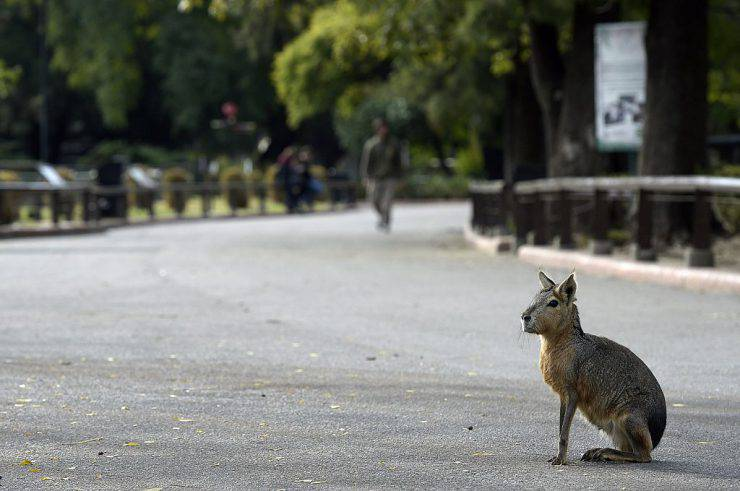 A Patagonian mara (Dolichotis patagonum) is seen at Buenos Aires Zoo on June 24, 2016.  The zoo will temporary close to become an ecological park. / AFP / JUAN MABROMATA        (Photo credit should read JUAN MABROMATA/AFP/Getty Images)