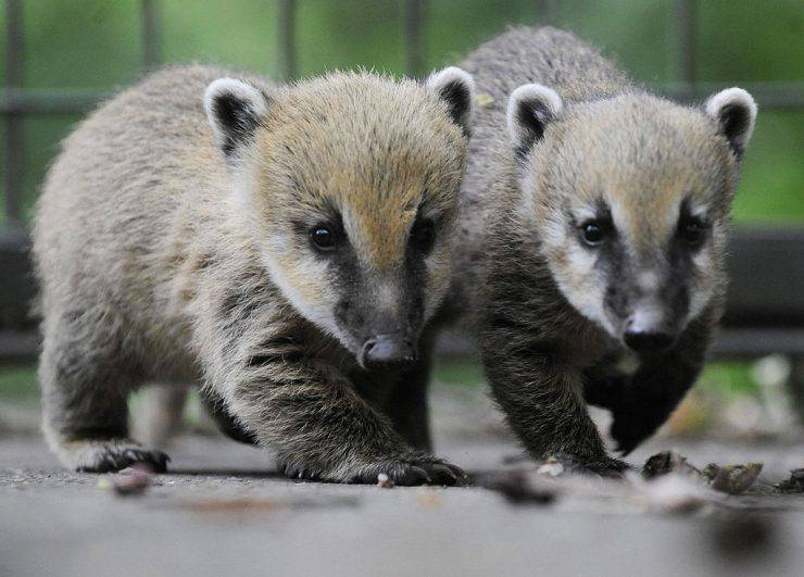 Two baby coatis play in their enclosure at the zoo in the northern German city of Hanover on June 3, 2009. The young coatis, also known as the hog-nosed coons were born on April 20 in the zoo. AFP PHOTO DDP /  NIGEL TREBLIN GERMANY OUT (Photo credit should read NIGEL TREBLIN/AFP/Getty Images)