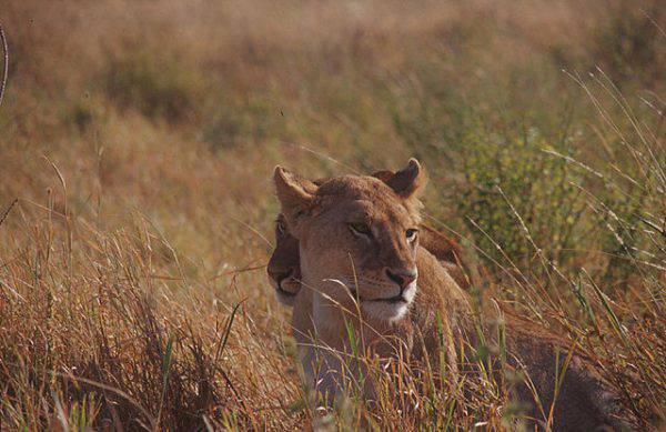 Leonesse nel Parco del Serengeti, Tanzania (Wikicommons)