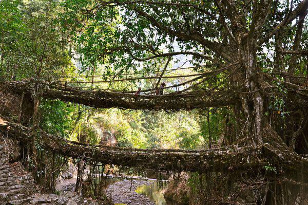 Meghalaya, ponti di radici viventi, India (Fabian Lambeck, CC BY-SA 4.0, Wikicommons)