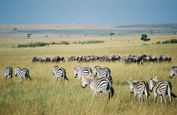 Masai Mara, Kenya, migrazione di gnu e zebre (Key45, CC BY 2.0, Wikipedia)