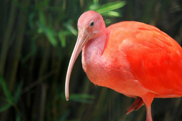 scarlet-ibis-250673_1280