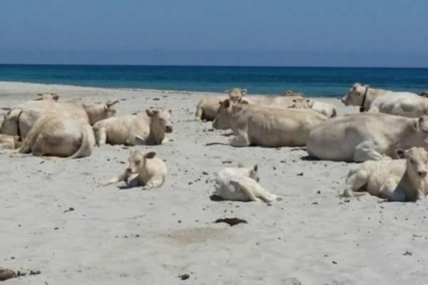 mucche vanno in spiaggia fonte facebook/Annamaria Profili