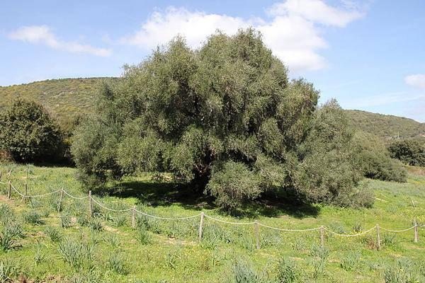 alberi più vecchi del mondo