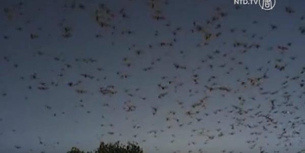 pipistrelli-invasione