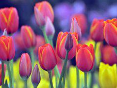 tulipani-italia
