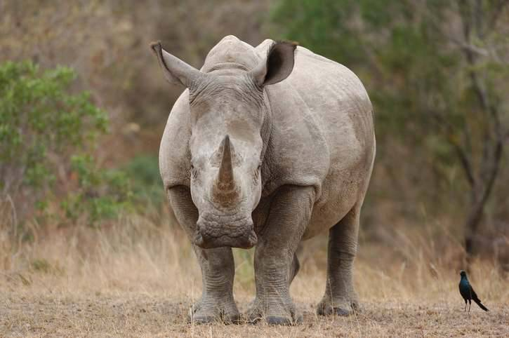Rinoceronte bianco morto