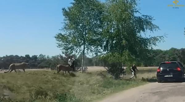 Famiglia scende dall'auto al safari: l'aggressione dei ghepardi per sbranare mamma e bimbo